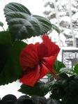 20130324_Spring_hibiscus
