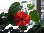 20130324_Spring_hibiscus2